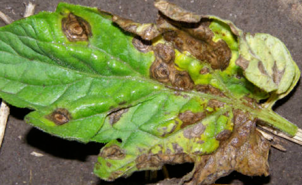 EB on Tomato Leaves