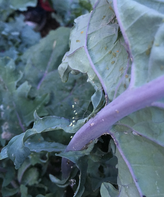 Organic Pest Management Aphids and Lacewing Eggs