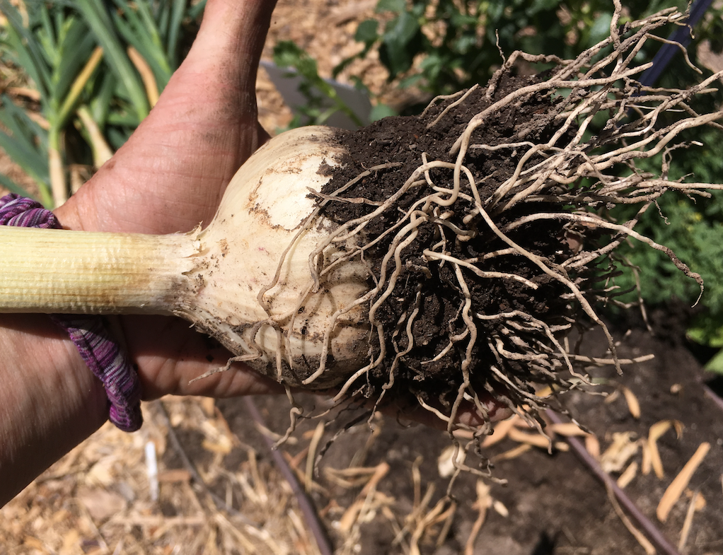 Mb holding huge garlic bulb just harvested