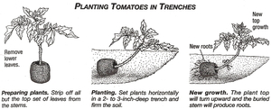 trench planting image