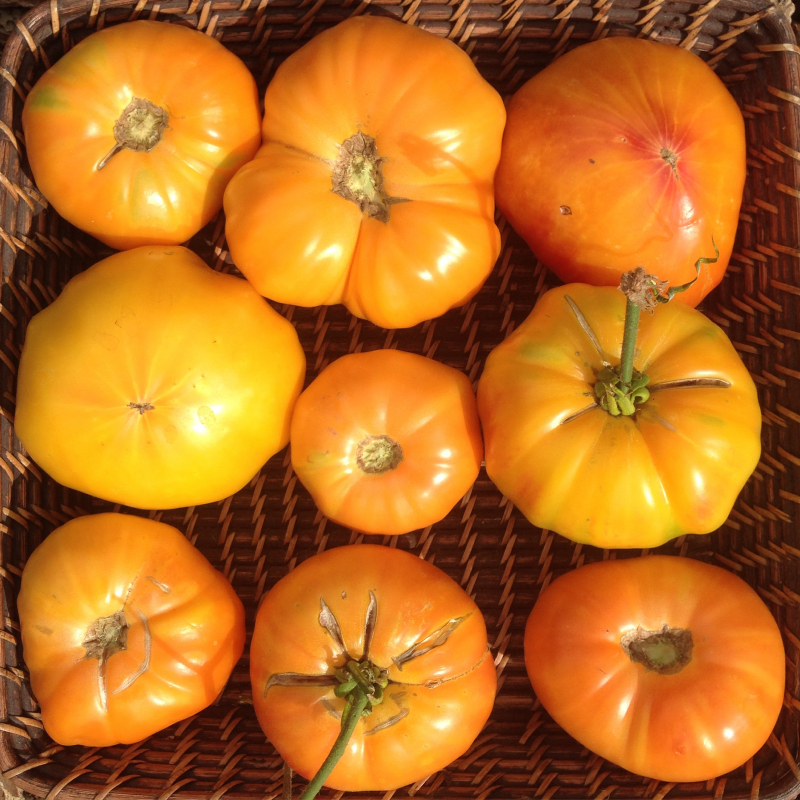 """Tomato Trenching: """"How-To"""" Video"""